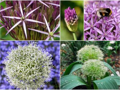 Rosliny Cebulowe Zielonyogrodek Pl Plants
