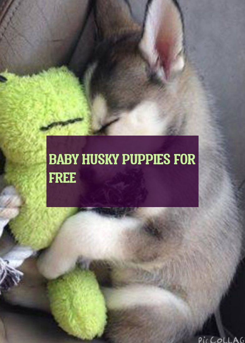 Puppies For Sale Near Me Free Puppies For Sale Near Me Free In 2020 Baby Huskies Husky Puppy Husky Puppies For Sale