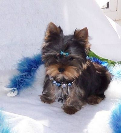 Maltese Puppies Sale Males Females Middlesex 1267135261 Yorkie