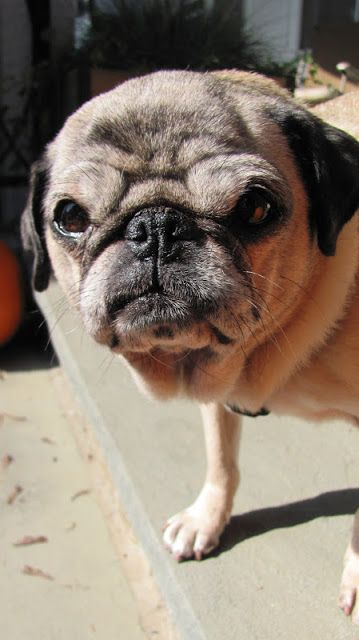Cute Old Fawn Pug With Images Pugs Old Pug Dog Lovers