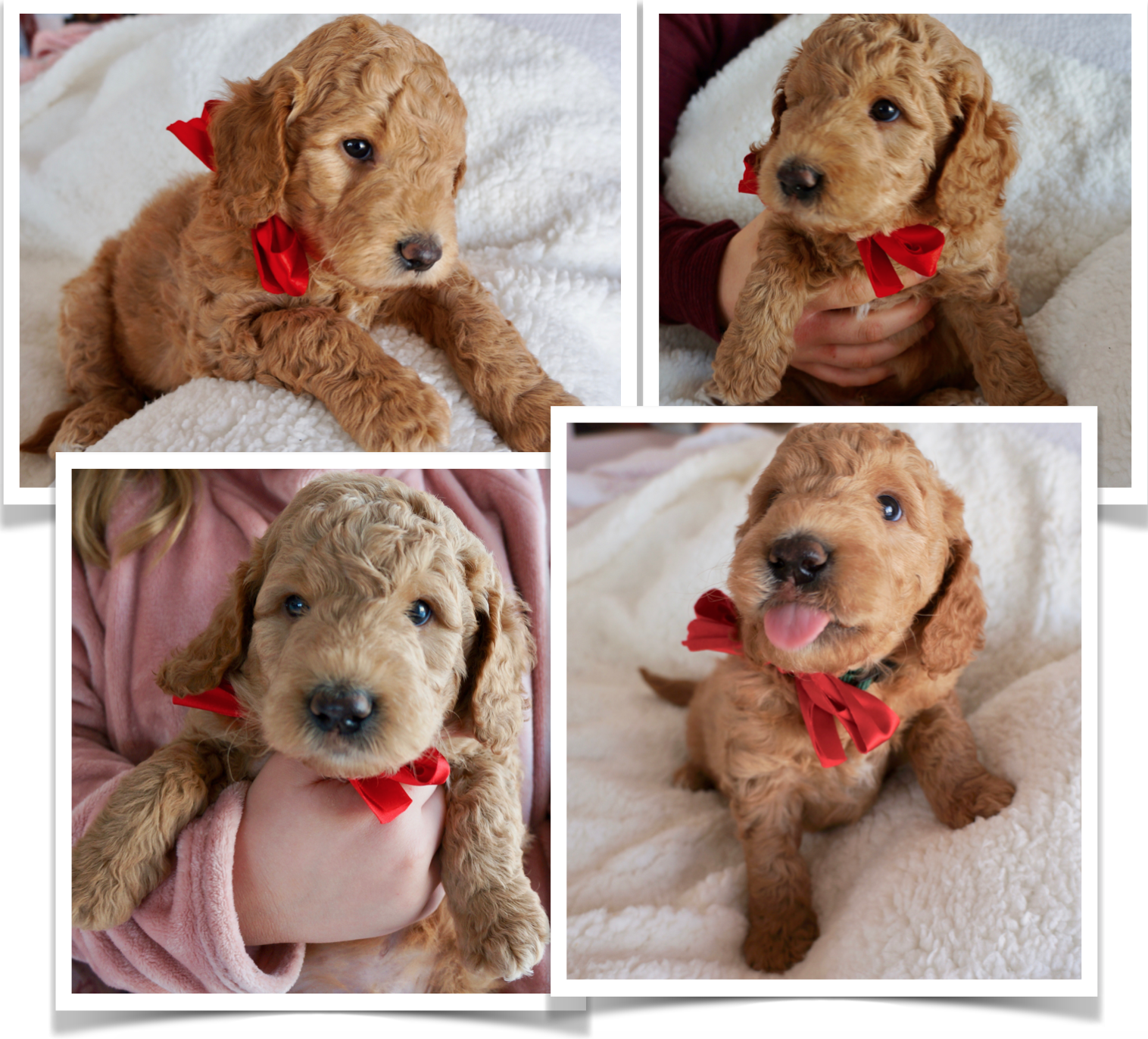 Pin by Leisel Fairfax on Dogs Goldendoodle puppy for