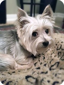 Sammy a Yorkie, Yorkshire Terrier for adoption in Statewide and National, TX who needs a loving home.