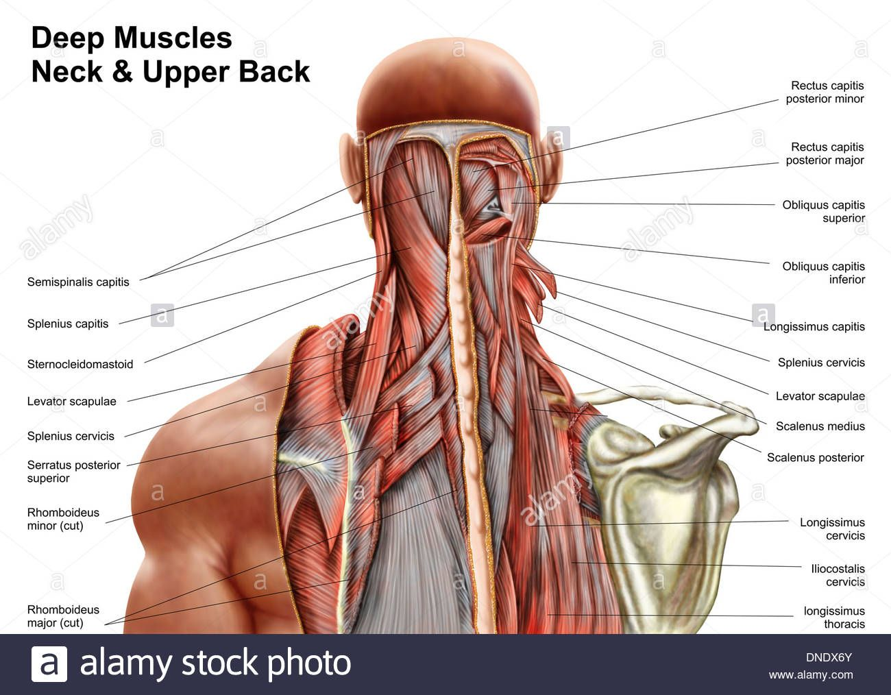 nerves in neck and shoulder diagram space suit labeled muscles anatomy human organs pinterest muscle back nerve
