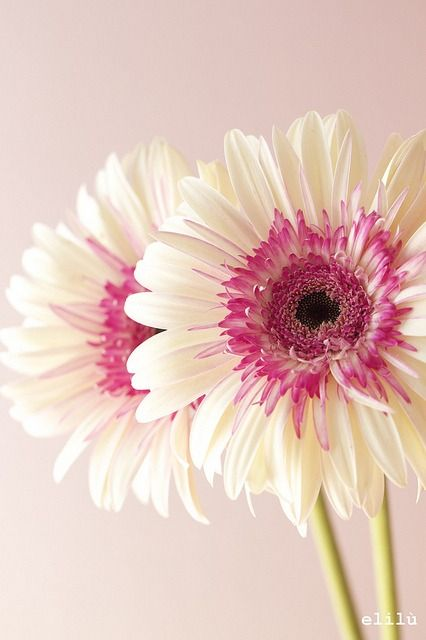 Pink And White Gerbera Daisy Beautiful Flowers Amazing Flowers Pretty Flowers