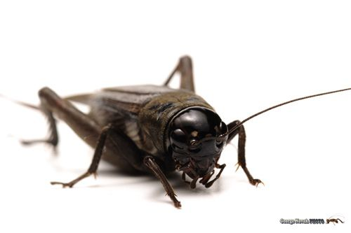 7 Different Types Of Crickets In 2020 Insects Cricket Insect Image
