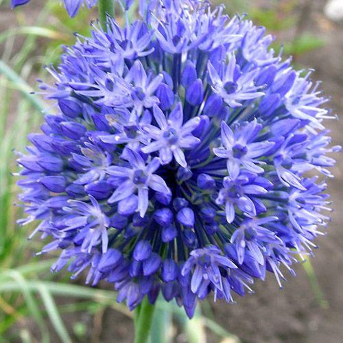 allium caeruleum lot de 5 fleurs a retenir pour jardin pinterest ail d ornement plante. Black Bedroom Furniture Sets. Home Design Ideas