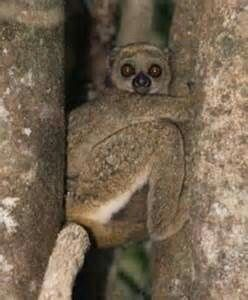 Bemaraha Woolly Lemur Lemurslorisespottosfossa Pinterest