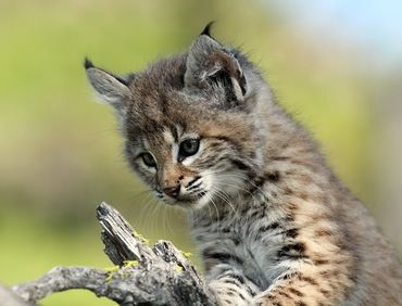 Picture of a baby bobcat (wild cat).   Pinterest   Baby ...