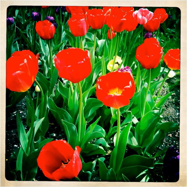 Spring tulips, Central Park, NYC