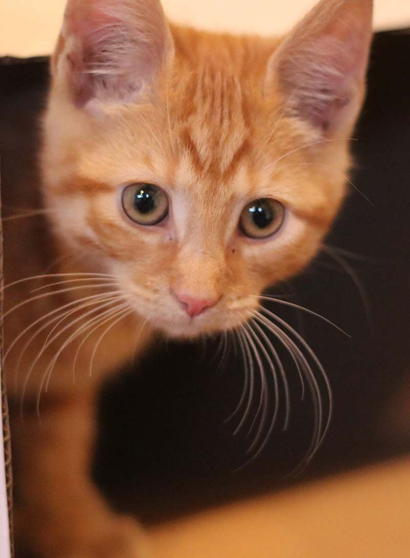 Orange Tabby Cat Fascinating Facts About Orange Cats In 2020 Orange Tabby Cats Orange Cats Tabby Kitten Orange
