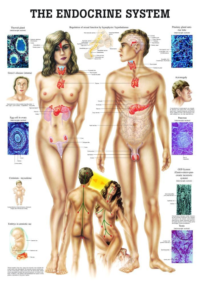 30+ The Endocrine System Laminated Anatomy Chart