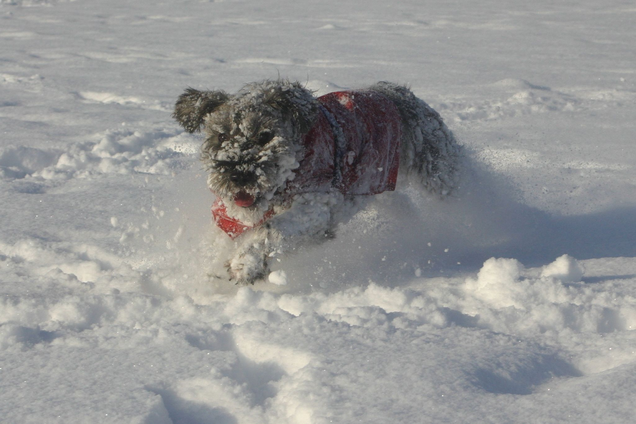 My schnauzer Scamp enjoying the snow, Preseli Hills, Pembrokeshire, January 2013.