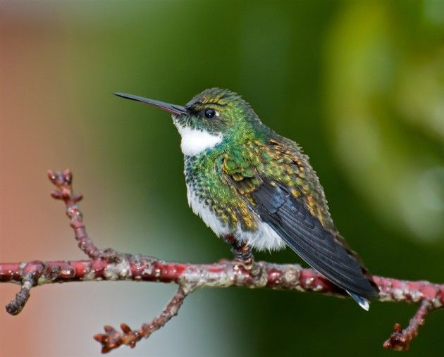 -White-throated-Hummingbird