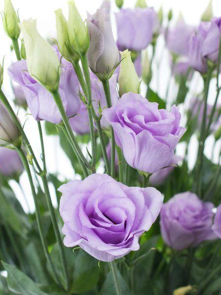 Lisianthus Eustoma Rosita Lavender Lila Hochzeits Deko