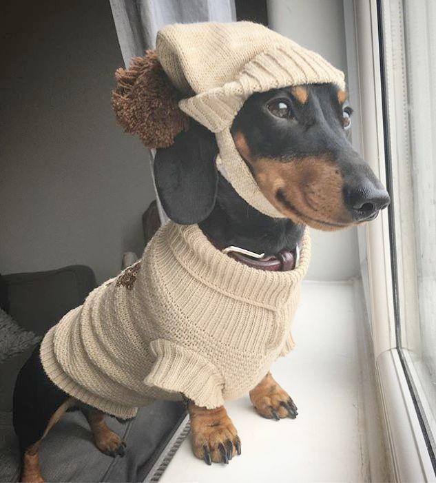 Wonderful > Pet Dogs Shop Near Me ;) Funny dachshund