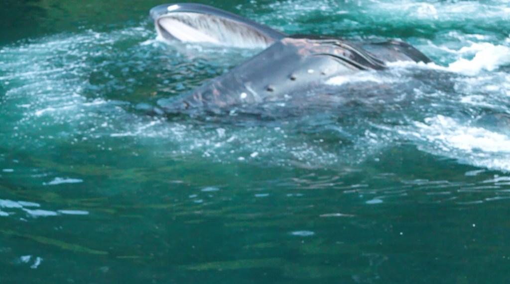 Researchers documented for the first time that the large mammals learned to feed on juvenile salmon released from hatcheries in southeast Alaska.