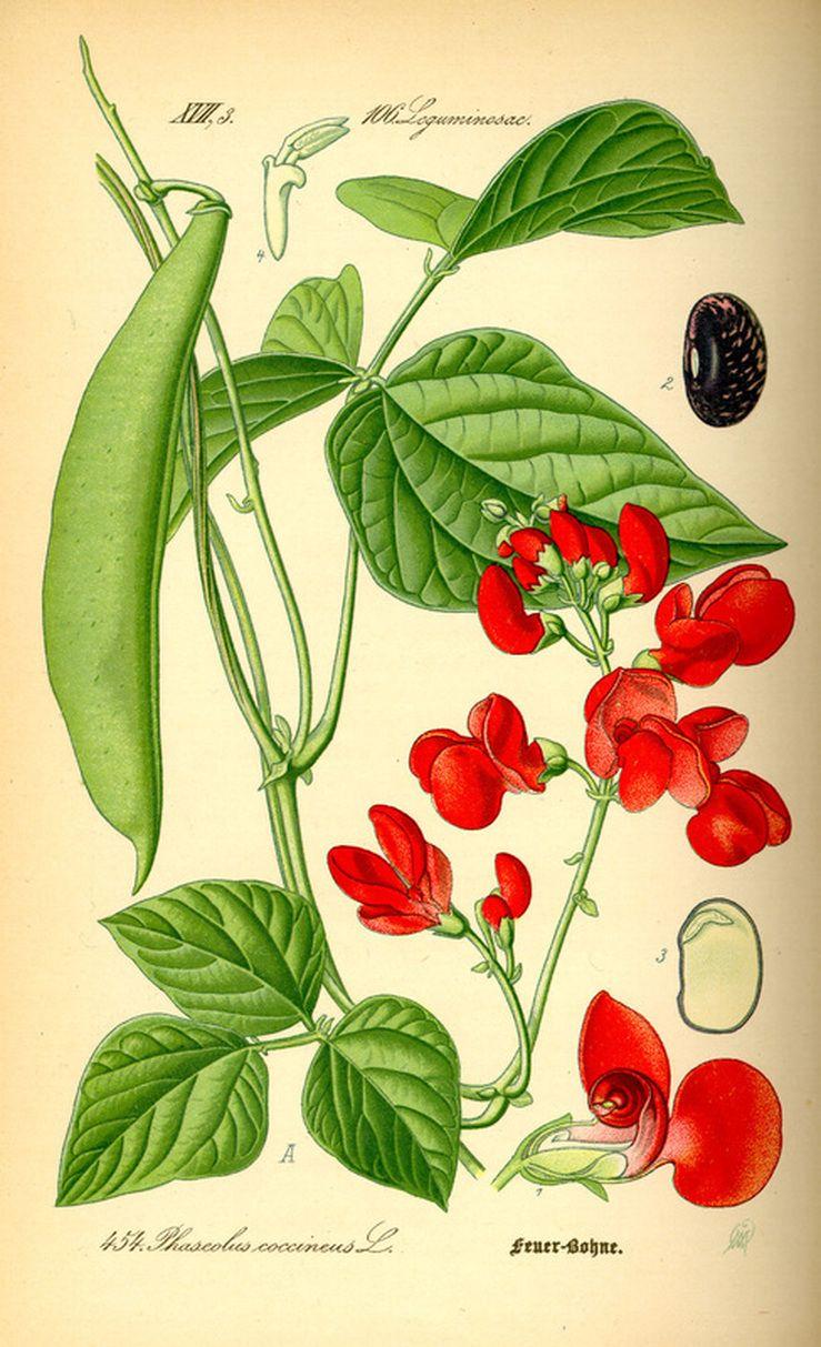 Black Bean Botanical Illustration Botanical Illustration