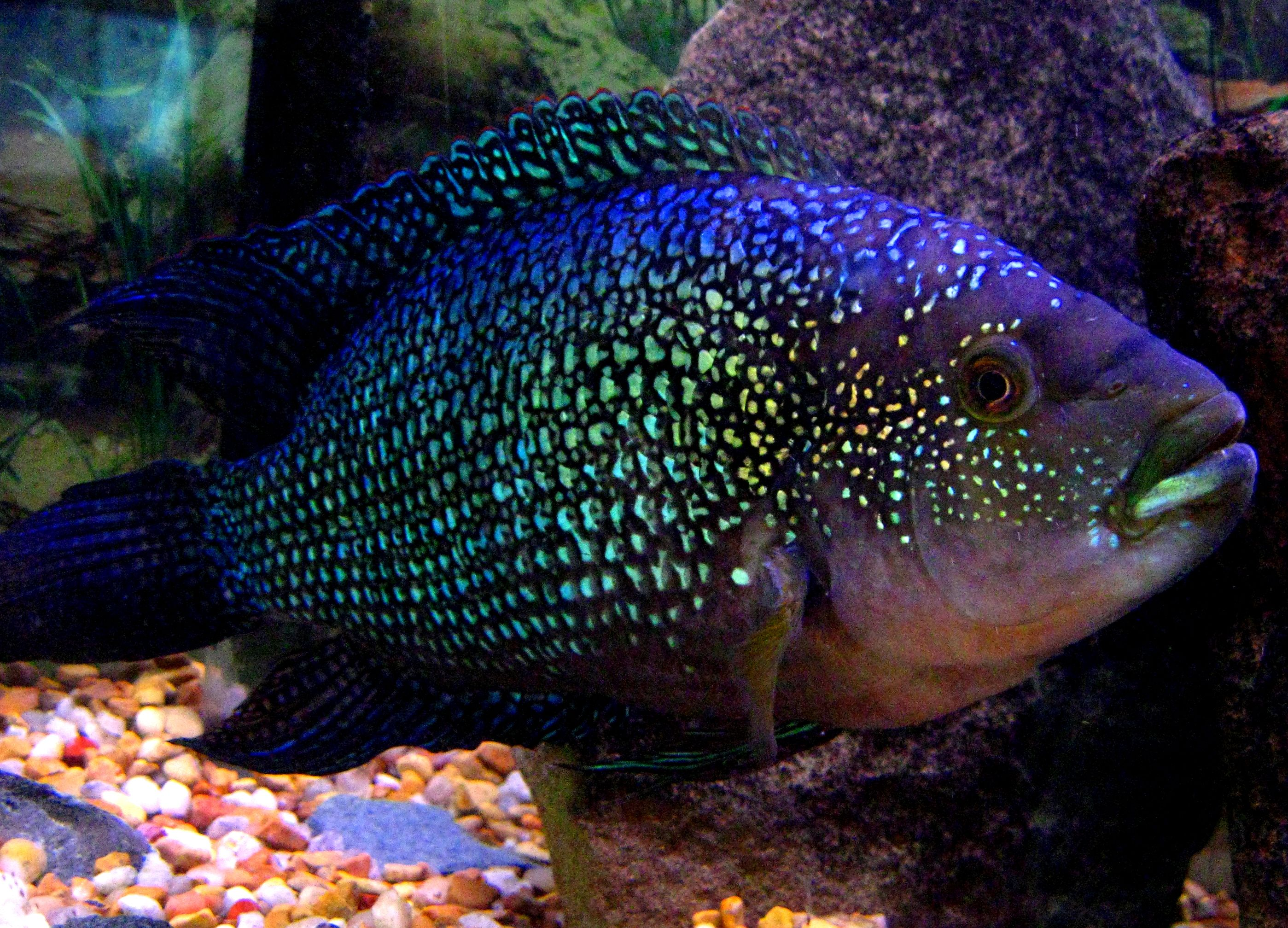 106 best Special Cichlids images on Pinterest Tropical fish