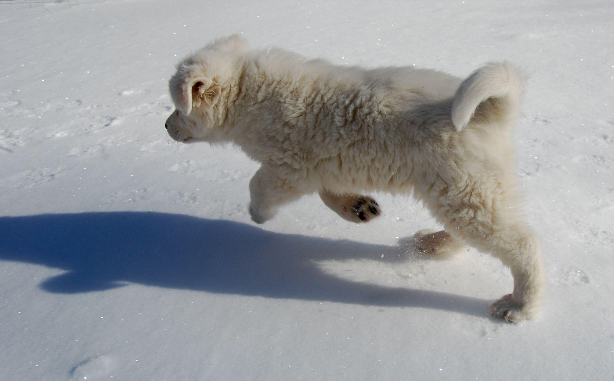 Maremma puppy in the snow Puppies, Polar bear, Sheepdog