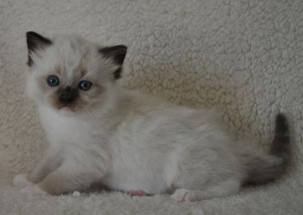 Willowtreerags Sylbr8 Of Magnadolz Ragdoll Kitten Of The Month Ragdoll Kitten Ragdoll Cat Ragdoll