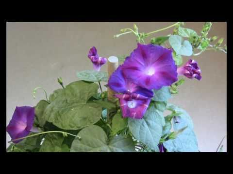 Time Lapse Of A Morning Glory Opening Closing Youtube Morning Glory Plant Morning Glory Flowers Morning Glory