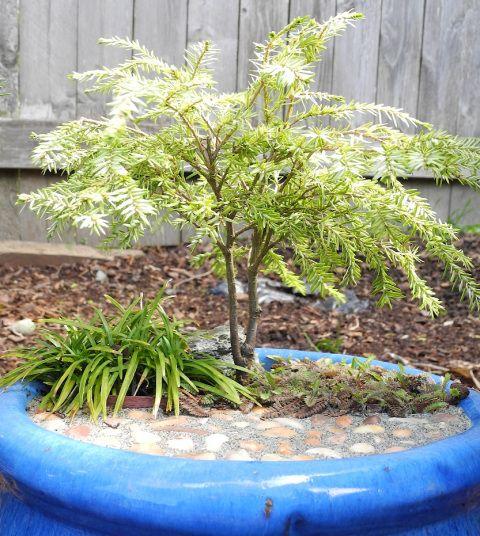 How Miniature Garden trees grow in a miniature garden after a few years.  #miniaturegarden #miniatureplants #conifer