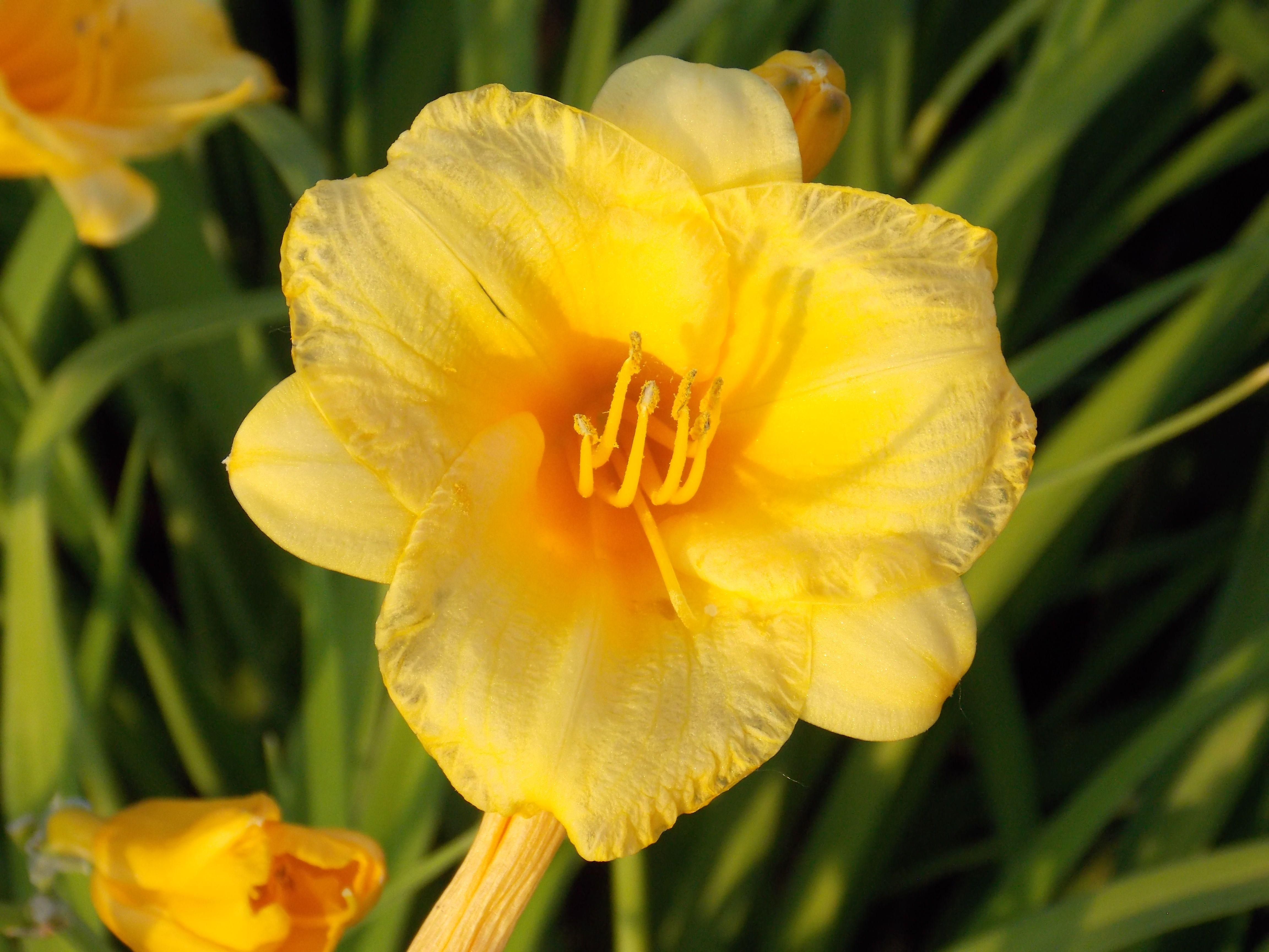 Yellow flower on Ben Butterworth Parkway, Moline, Illinois.