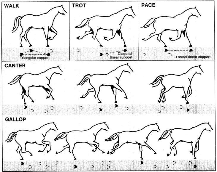 Gallop       Horse       Gaits       Diagram     Wiring    Diagrams