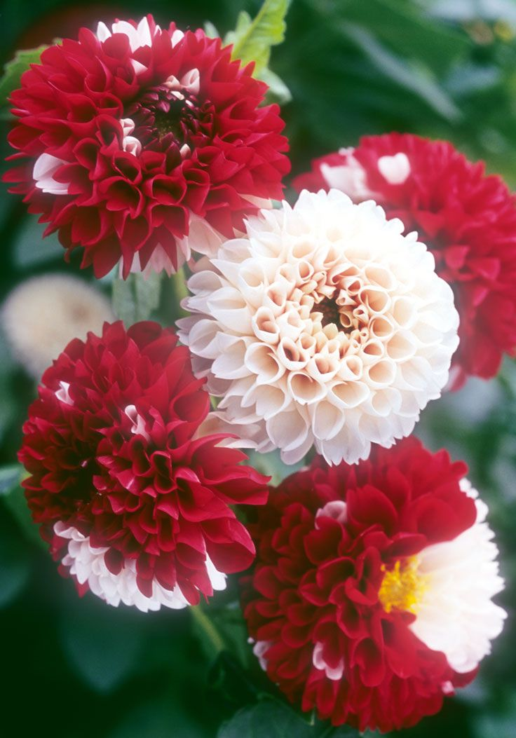 York And Lancaster Dahlia 1915 This Is A Rare And Very Beautiful Dahlia Whose Origins In History Have Been Lo Beautiful Flowers Amazing Flowers Rare Flowers