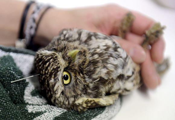 akupunktiohoitoa pöllöille:)