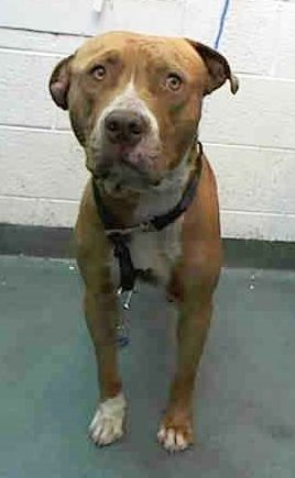 GONE ---- COPPER (A1688572) I am a male tan and white Pit Bull Terrier mix. The shelter staff think I am about 2 years old. I was found as a stray and I may be available for adoption on 04/03/2015. Miami Dade https://www.facebook.com/urgentdogsofmiami/photos/pb.191859757515102.-2207520000.1427665636./952781951422875/?type=3&theater