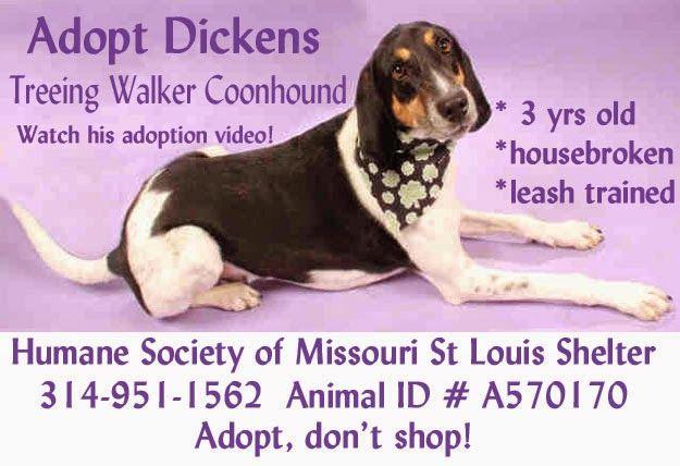 Adopt Dickens A Treeing Walker Coonhound In Stlouis Missouri Treeing Walker Coonhound Coonhound Adoption