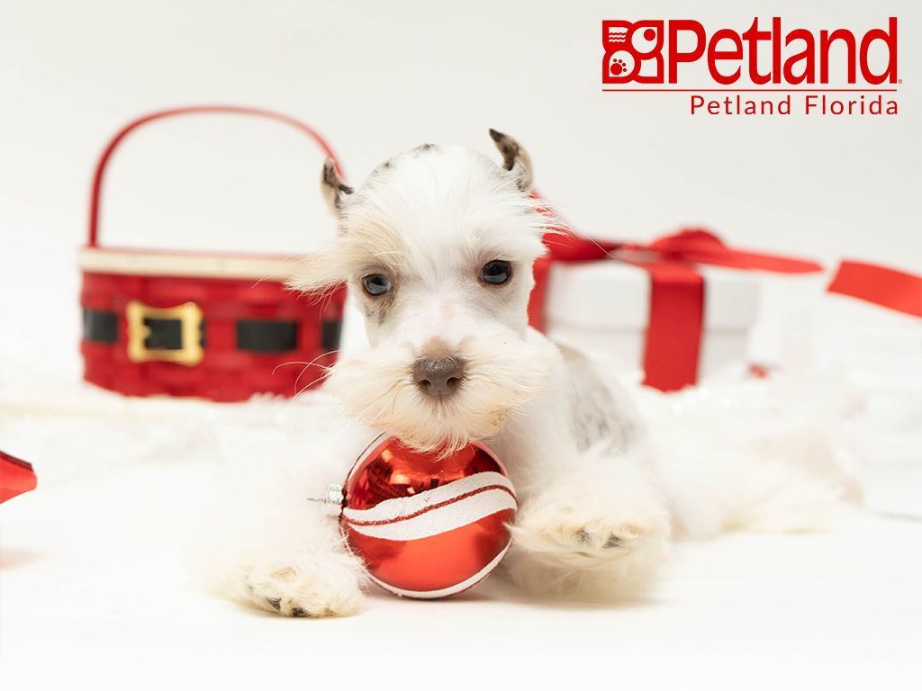 Petland Florida Has Miniature Schnauzer Puppies For Sale Check Out All Our Available Puppies Min Puppy Friends Schnauzer Puppy Miniature Schnauzer Puppies