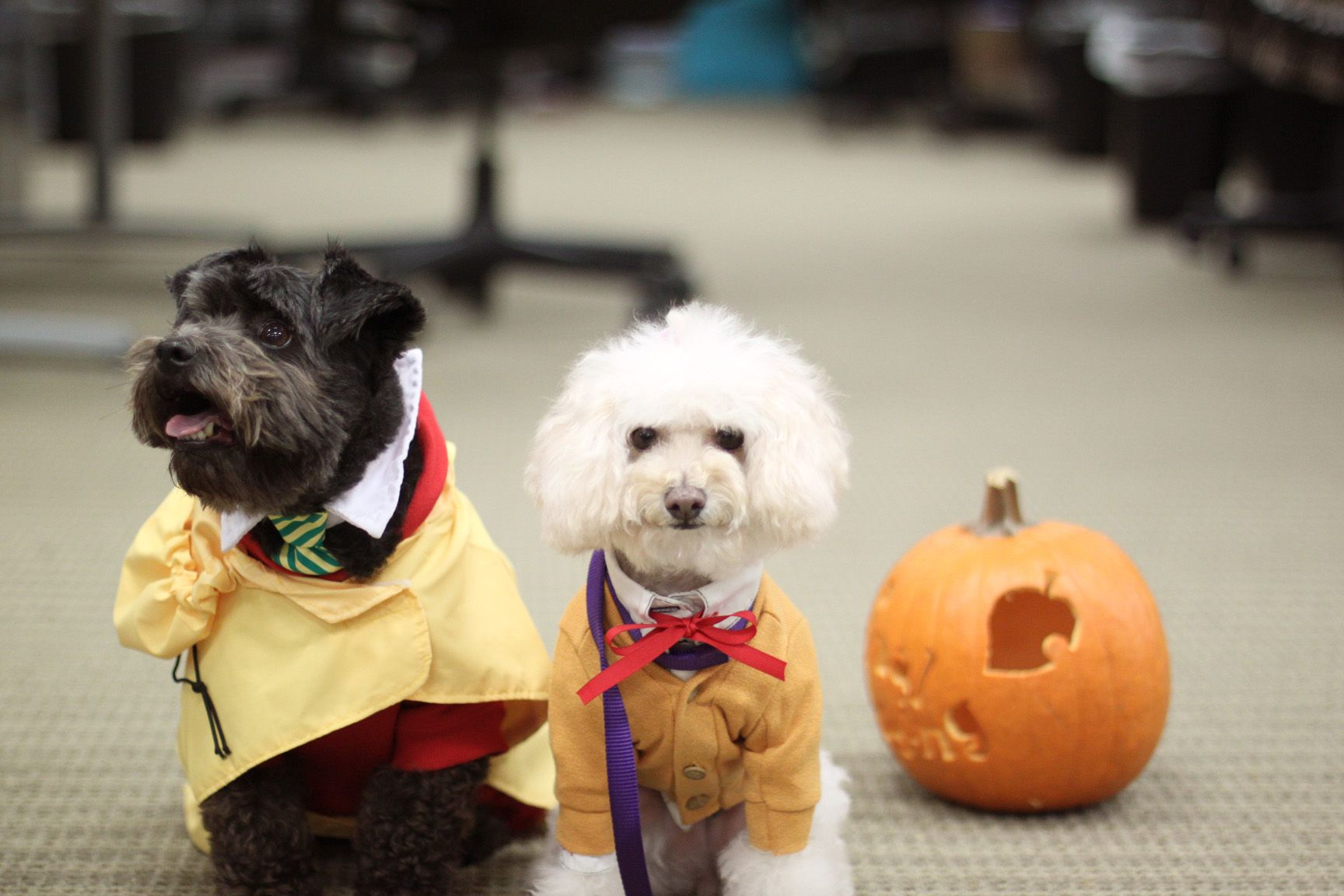 Moiji and Wifi the poodle mix Halloween costume as Digby