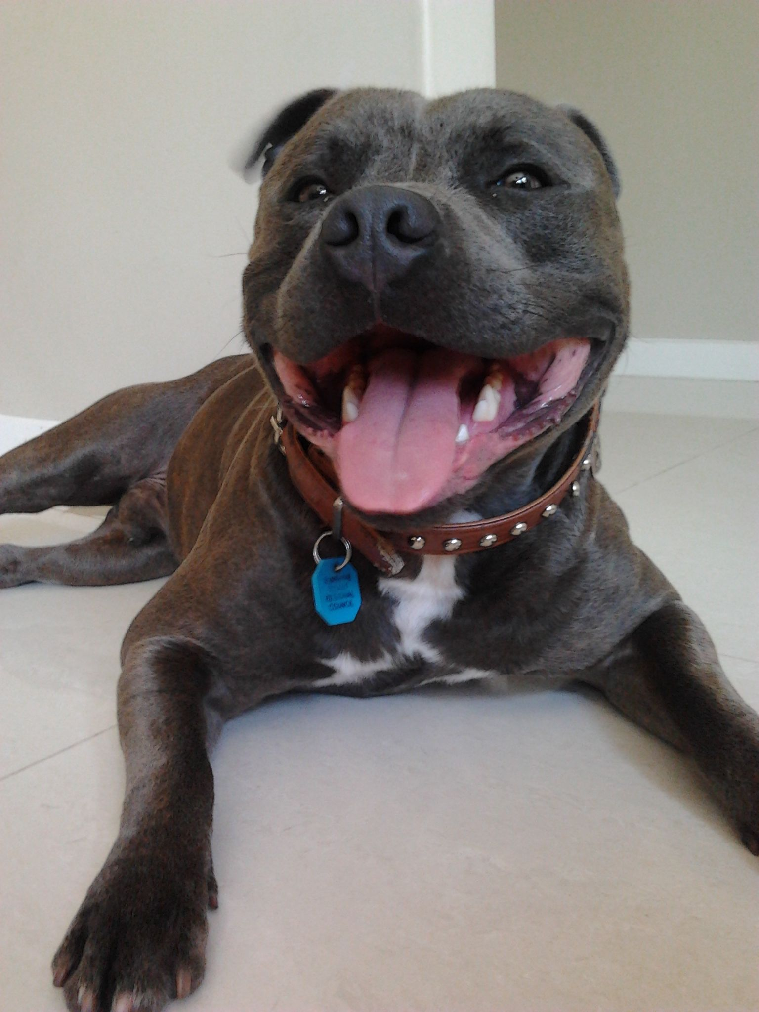 Male Blue Brindle English Staffordshire Bull Terrier. 20 months ...