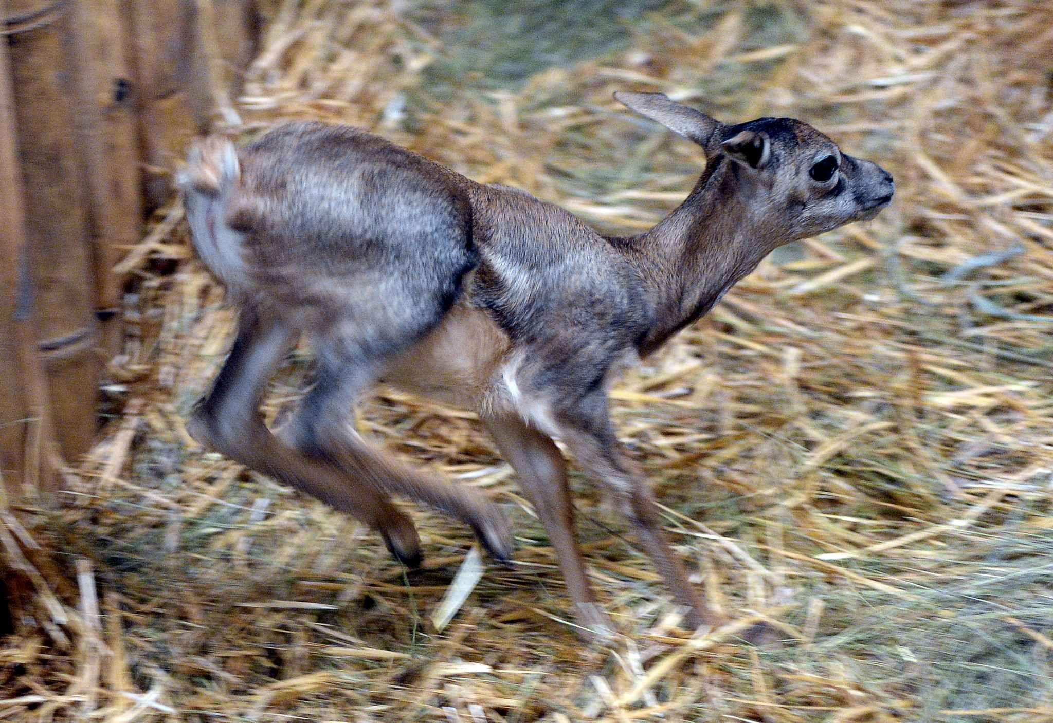 Cette antilope cervicapre est né le 6 janvier au zoo de Budapest.