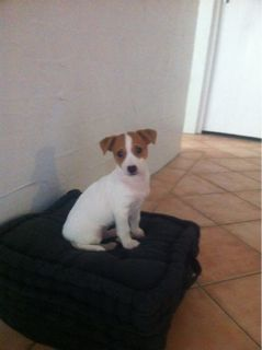 Jack Russell Cross Mini Foxy May Jack Russell Jack Russell Terrier Rat Terriers
