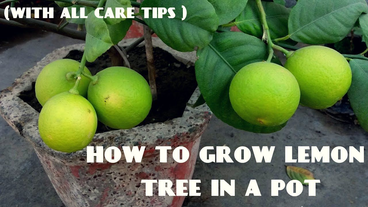 How To Grow Lemon Tree With All Care Tips How To Grow Lemon Lemon Tree Growing Lemon Trees