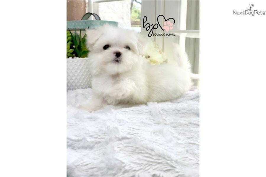 Gabbi Maltese Puppy For Sale Near Houston Texas 33230b41 8c71