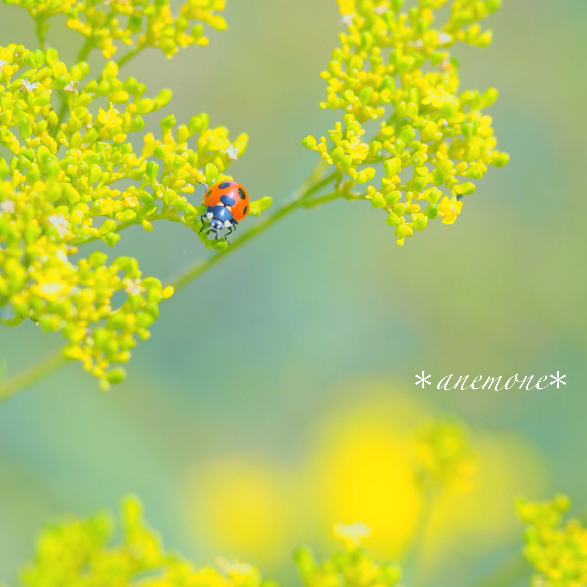 #女郎花#オミナエシ#Goldenlace#Patrinia#flower#テントウムシ