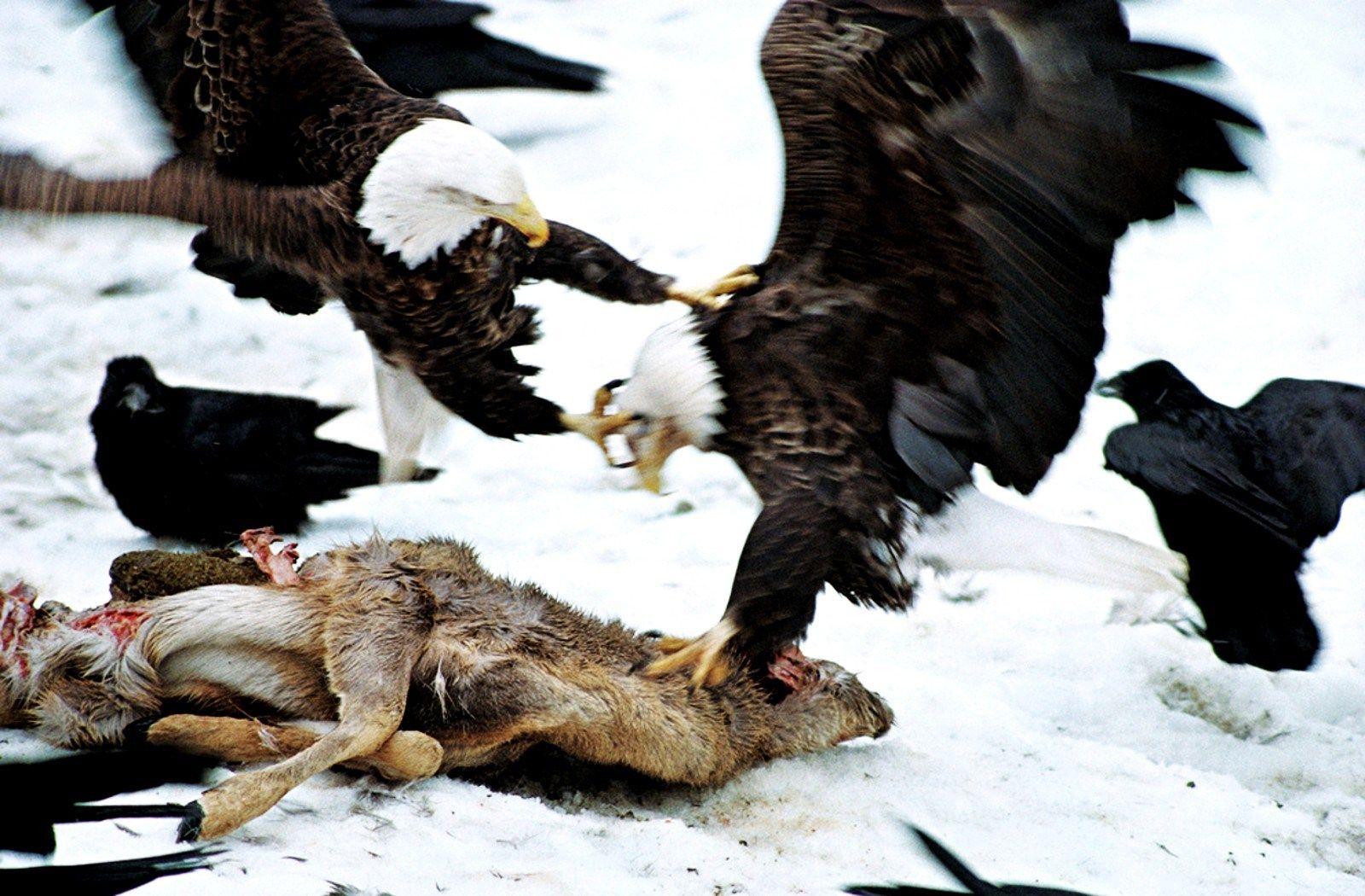 free desktop wallpaper downloads eagle, 322 kB Osborn