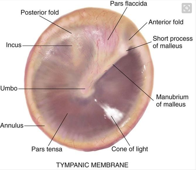 Tympanic Membrane Anatomy Otitis Media Provider Info Pinterest