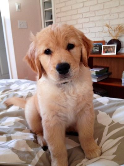GOLDEN RETRIEVER PUP <3 SO SWEET, SMART, LOVING <3 <3 <3