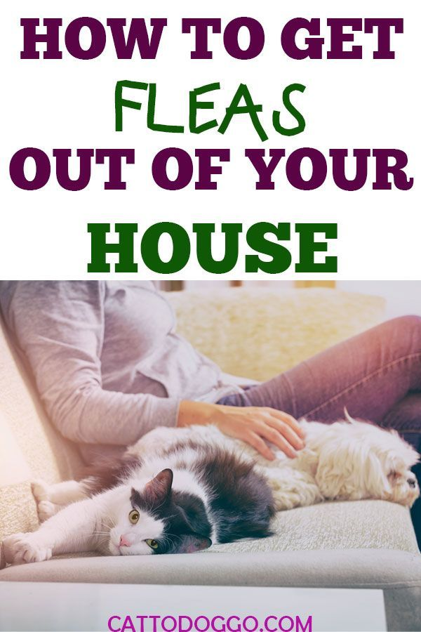 How to Get Fleas Out Of Your House   Cat fleas Munchkin ...