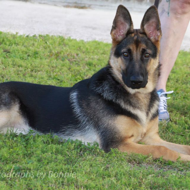 8 Month Old Female German Shepard Gsd Puppies Cute Dogs Dogs