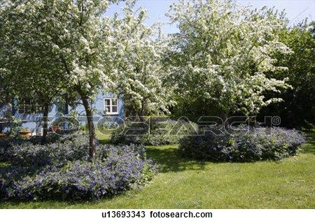 Fruit Trees In Blossom In Small Orchard Underplanted With Blue Flower Stock Image U13693343 Arizona Backyard Landscaping Fruit Trees Small Gardens