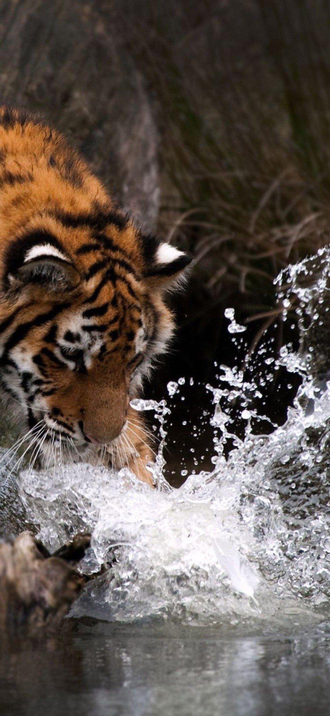 Download Sumatran tiger, Water, Big cats for iPhone X