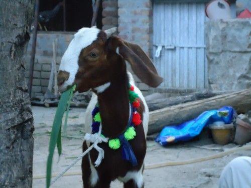 Desi Bakra Goat Animal Eid Photo Collection | HD Wallpaper