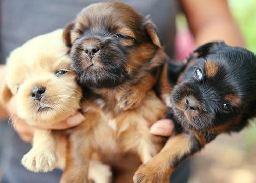 German Shepherd Puppies Missouri Craigslist - Pets Lovers