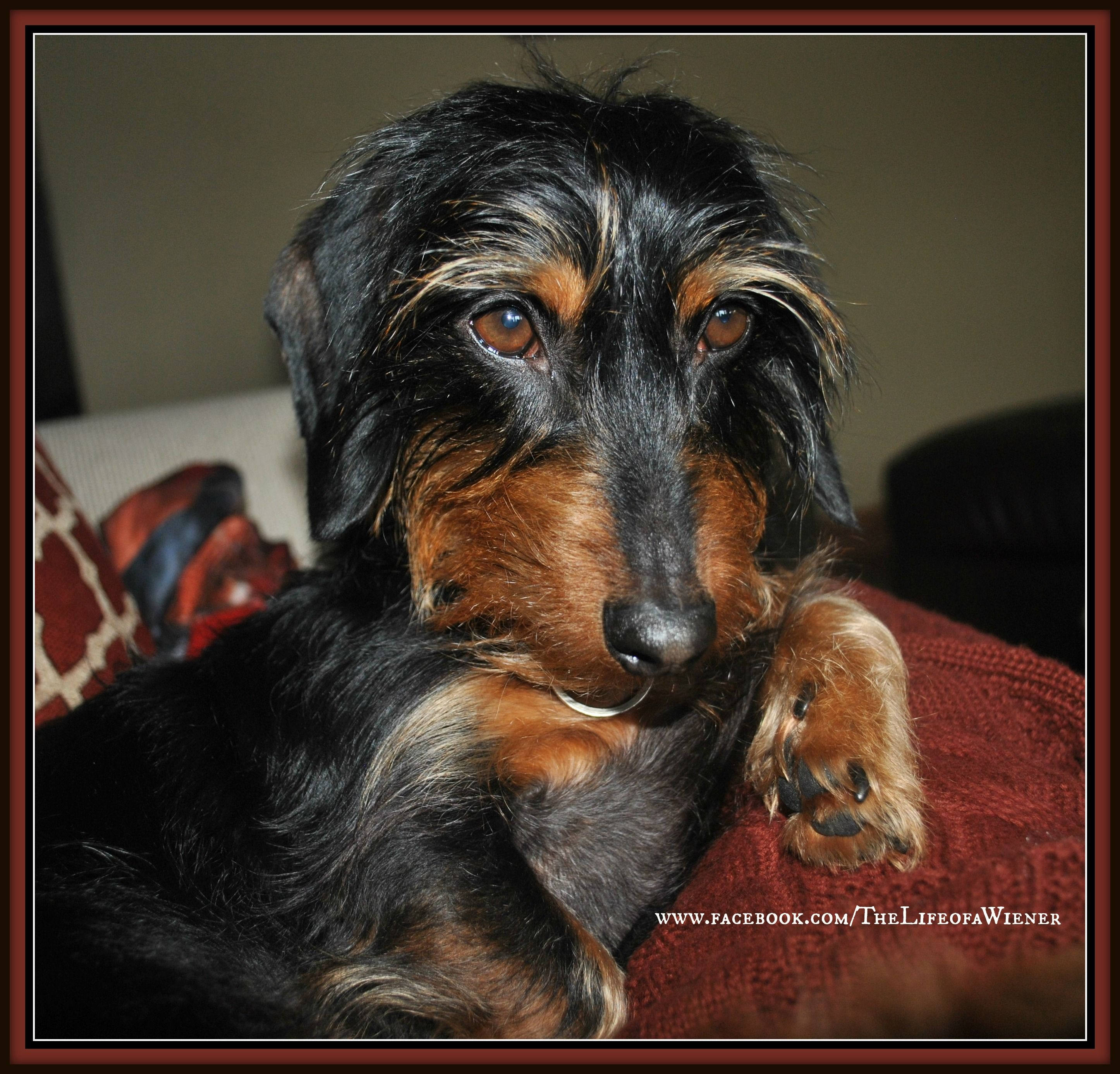 Bring Me Hans Solo And A Cookie Wire Haired Dachshund Long